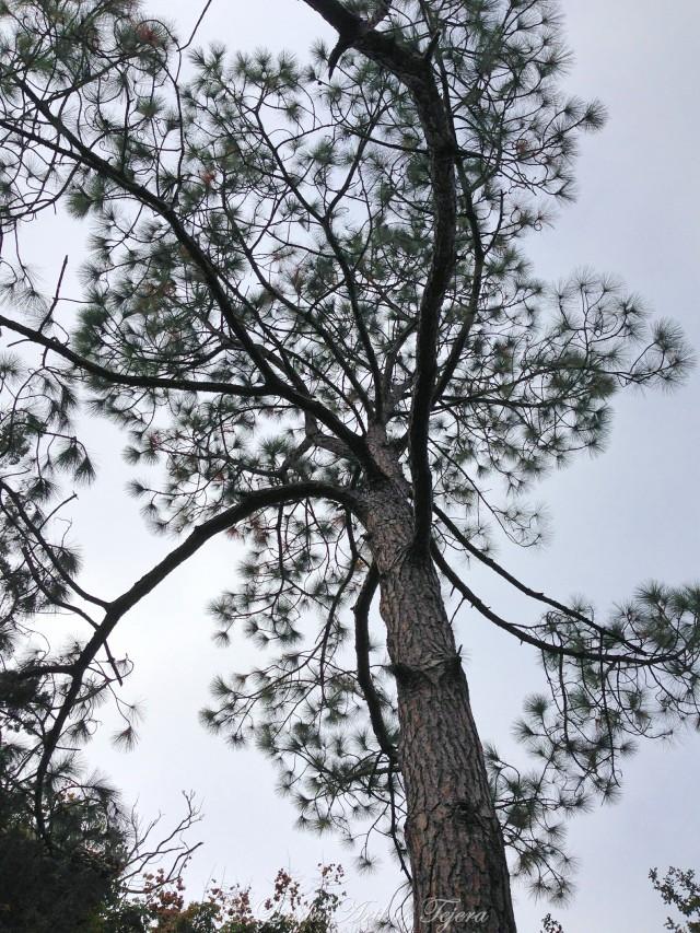 2014-12-05 Pine Tree_Fotor