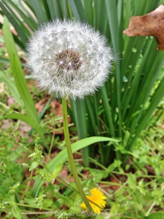2016-04-11 Dandelion_Fotor